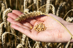 Un campo de trigo y una mano femenina que sostienen trigo fotografía de archivo libre de regalías