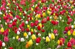 Un campo de tulipanes Fotos de archivo