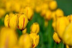 Un campo de tulipanes en primavera Fotografía de archivo
