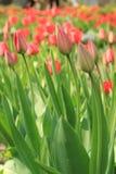 Un campo de tulipanes rojos Imágenes de archivo libres de regalías