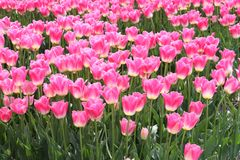 Un campo de tulipanes rosados en el pólder Imagen de archivo