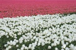 Un campo de tulipanes rosados y blancos en el pólder Fotos de archivo libres de regalías