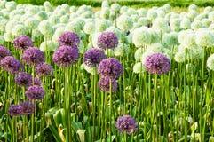 Campo dei fiori dell'allium Fotografia Stock