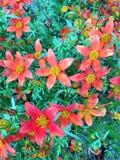 un campo dei fiori arancio del Bidens fotografia stock libera da diritti