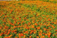 Un campo dei fiori di colore immagine stock