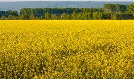 un campo dei fiori gialli del seme di ravizzone illuminati dal sole Immagine Stock Libera da Diritti