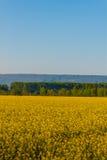un campo dei fiori gialli del seme di ravizzone illuminati dal sole Fotografia Stock