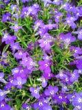 Un campo dei fiori porpora viola di Lobelia fotografia stock