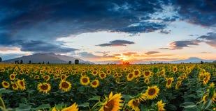 Un campo dei girasoli al tramonto fotografie stock