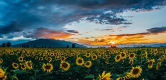 Un campo dei girasoli al tramonto immagini stock libere da diritti