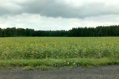 Un campo dei girasoli gialli luminosi nell'erba lungo la strada contro il contesto della foresta e del cielo grigio nuvoloso immagini stock