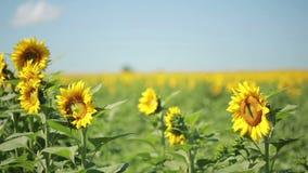 Un campo dei girasoli Un bello fiore nella priorità alta, nel fuoco video d archivio