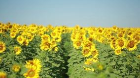 Un campo dei girasoli Un bello fiore nella priorità alta, nel fuoco stock footage