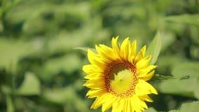 Un campo dei girasoli Un bello fiore nella priorità alta, nel fuoco archivi video