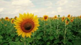 Un campo dei girasoli Una brezza leggera Un bello fiore nella priorità alta, nel fuoco Capolino del archivi video