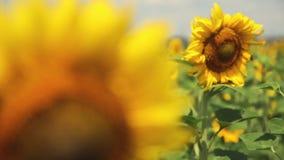 Un campo dei girasoli Una brezza leggera Un bello fiore nella priorità alta, nel fuoco Capolino del video d archivio