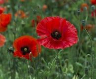 Un campo dei papaveri luminosi e rossi e dei fiori selvaggi Immagine Stock Libera da Diritti