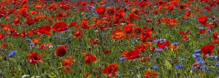 Un campo dei papaveri luminosi e rossi e dei fiori selvaggi Fotografia Stock Libera da Diritti