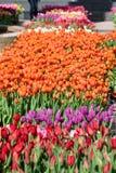 Un campo dei tulipani - arancia con gli accenti di Yelllow, giallo, porpora, Fotografia Stock Libera da Diritti