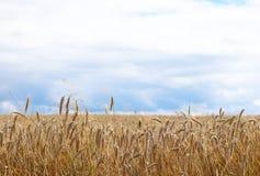 Un campo del centeno y de la cebada en un cielo con las nubes oscuras Maduración del sector agrario de la cosecha futura del indu imagenes de archivo
