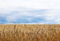 Un campo del centeno y de la cebada en un cielo con las nubes oscuras Maduración del sector agrario de la cosecha futura del indu imágenes de archivo libres de regalías