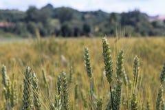 Un campo del centeno y de la cebada Maduración del sector agrario de la cosecha futura de la industria agrícola Granja de la plan foto de archivo libre de regalías