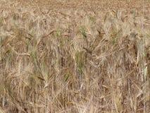 Un campo del centeno y de la cebada Maduración del sector agrario de la cosecha futura de la industria agrícola Granja de la plan imagen de archivo