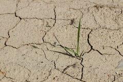 Un campo del centeno y de la cebada Maduración del sector agrario de la cosecha futura de la industria agrícola Granja de la plan imágenes de archivo libres de regalías