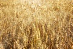 Un campo del centeno y de la cebada Maduración del sector agrario de la cosecha futura de la industria agrícola Granja de la plan foto de archivo