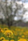 Un campo del diente de león en el fondo del primer del flor del manzano Foto de archivo libre de regalías