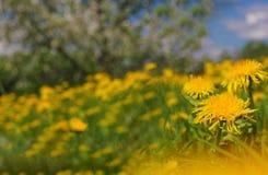 Un campo del diente de león en el fondo del primer del flor del manzano Fotografía de archivo libre de regalías
