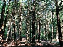 Un campo del legno degli alberi di larice fotografia stock libera da diritti