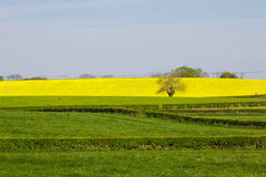 Un campo del oi de la rabina una granja irlandesa con sus cabezas de flor amarillas brillantes, puesto en contraste contra un cie imagen de archivo