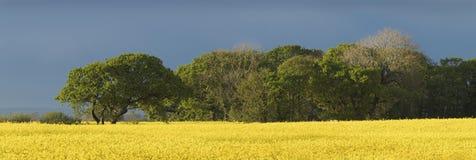 Un campo del seme di ravizzone con parecchi grandi alberi nella distanza fotografie stock