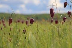 Un campo del snake& rojo x27; cabezas de s y x28; Meleagris& x29 del Fritillaria; con la profundidad del campo baja Imagenes de archivo