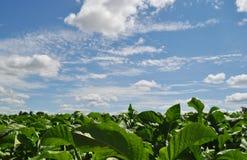 Un campo del tabacum cultivado de la nicociana del tabaco con un cielo azul y nubes blancas Foto de archivo libre de regalías