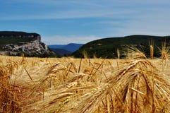 Un campo del trigo Fotografía de archivo