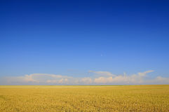 Un campo del trigo Foto de archivo libre de regalías
