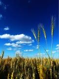 Un campo del trigo amarillo de oro Fotos de archivo