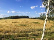 Un campo del trigo, cielo del abedul Fotos de archivo