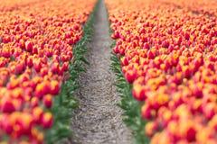 Un campo del tulipán Foto de archivo libre de regalías