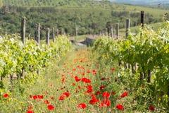 Un campo del viñedo con las amapolas durante la primavera en Toscana Foto de archivo