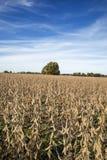 Un campo dell'azienda agricola del Missouri della soia fotografia stock