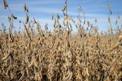Un campo dell'azienda agricola del Missouri della soia fotografia stock libera da diritti