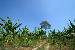 Un campo della banana Fotografie Stock