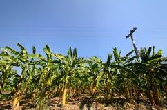 Un campo della banana Fotografia Stock Libera da Diritti