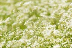 Un campo della primavera odorosa Fotografia Stock Libera da Diritti