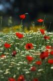 Un campo della sorgente fiorisce (profondità del campo poco profonda) Immagine Stock
