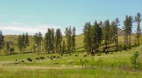 Un campo delle Buffalo che pascono immagini stock