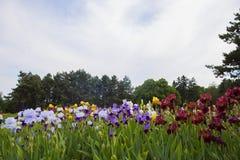 Un campo delle iridi multicolori contro un fondo del pino Fotografia Stock Libera da Diritti
